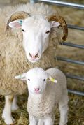 Sheep-and-lamb-at-wimpole-home-farm-cambridgeshire