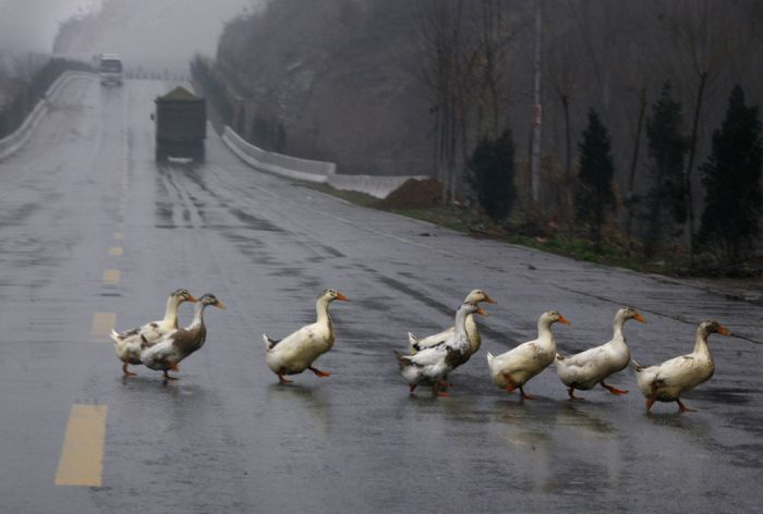 Animals-crossing-the-road16